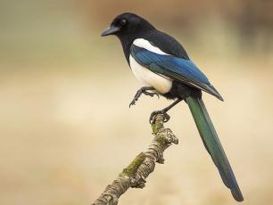 Sroka zwyczajna – opis, występowanie i zdjęcia. Ptak sroka zwyczajna ciekawostki