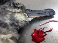 To balony stanowią śmiertelne zagrożenie dla morskich ptaków