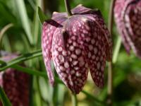 Szachownice kwiaty – sadzenie, uprawa i pielęgnacja szachownic