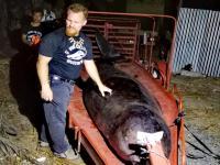 Martwy wieloryb miał 40 kg plastikowych śmieci w żołądku