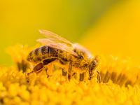 Pyłek pszczeli kwiatowy – eliksir prosto z ula