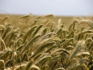 Mąka żytnia – najlepszy surowiec na chleb!