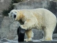 Niedźwiedź polarny – myśliwy specjalista