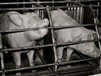 Hodowla przemysłowa sprowadziła zwierzęta do roli produktów