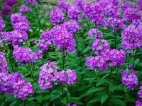 Floksy – kolorowe kwiaty na zagon i do ogródka skalnego