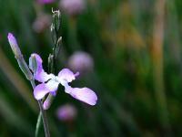 Maciejki kwiaty - sadzenie, uprawa i pielęgnacja maciejek