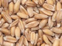Mąka orkiszowa - właściwości, skład i zastosowanie mąki orkiszowej