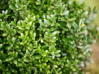 Bukszpan krzew – sadzenie, uprawa i pielęgnacja bukszpanu