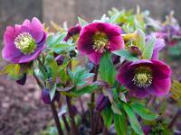 Ciemierniki – kwiaty, które zdobią ogród już zimą!