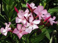 Oleander krzew – sadzenie, uprawa i pielęgnacja oleandra