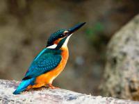Zimorodek - opis, występowanie i zdjęcia. Ptak zimorodek ciekawostki