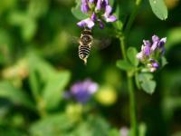 Dzikie pszczoły budują gniazda z plastiku