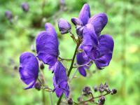 Tojady kwiaty – sadzenie, uprawa i pielęgnacja tojadów