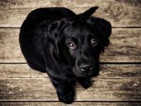 Nie potrafisz oprzeć się szczenięcym oczom swoje psa? To wina ewolucji!