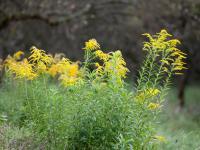 Nawłocie kwiaty – sadzenie, uprawa i pielęgnacja nawłoci