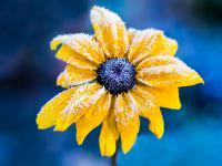 Rudbekie kwiaty – sadzenie, uprawa i pielęgnacja rudbekii