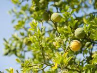Bergamotka owoc – właściwości, witaminy i wartości odżywcze bergamotki
