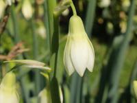 Galtonie białawe kwiaty – sadzenie, uprawa i pielęgnacja galtonii białawych