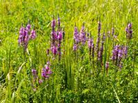 Krwawnice pospolite kwiaty – sadzenie, uprawa i pielęgnacja krwawnic pospolitych