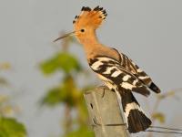 Dudek - opis, występowanie i zdjęcia. Ptak dudek ciekawostki