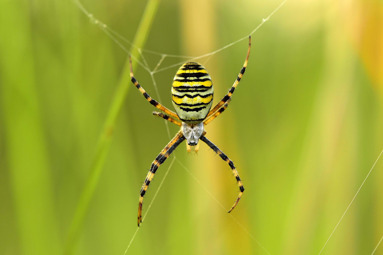 Tygrzyk paskowany - śródziemnomorski pajęczak