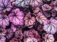 Żurawki kwiaty – sadzenie, uprawa i pielęgnacja żurawek