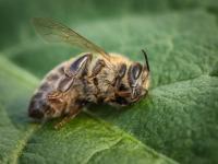 Kolejne kraje zmagają się z pszczelim kryzysem