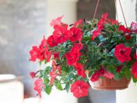 Surfinie kwiaty – sadzenie, uprawa i pielęgnacja surfinii