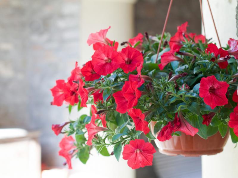 Surfinie Kwiaty Sadzenie Uprawa I Pielegnacja Surfinii