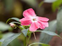 Niecierpki kwiaty – sadzenie, uprawa i pielęgnacja niecierpków