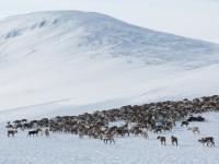 Zmiany klimatu spowodowały głodową śmierć 200 reniferów