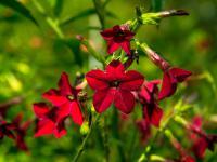 Tytoń ozdobny roślina – sadzenie, uprawa i pielęgnacja tytoniu ozdobnego