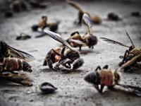Szeroko stosowany pestycyd bardzo szkodliwy dla pszczół