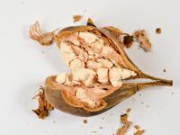 Baobab owoc – właściwości, witaminy i wartości odżywcze baobabu
