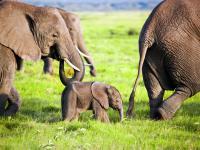 Będzie zakaz wysyłania słoni afrykańskich do ogrodów zoologicznych
