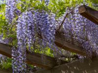 Wisteria (glicynia) roślina ‒ sadzenie, uprawa i pielęgnacja wisterii