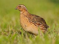 Przepiórka ‒ opis, występowanie i zdjęcia. Ptak przepiórka ciekawostki