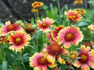 Gailardie – indiańskie kwiaty o wyjątkowo długim okresie kwitnienia