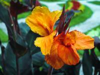 Paciorecznik ogrodowy (kanna) roślina – sadzenie, uprawa i pielęgnacja paciorecznika ogrodowego