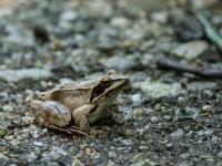 Żaba dalmatyńska - opis, występowanie, zdjęcia. Płaz żaba dalmatyńska ciekawostki