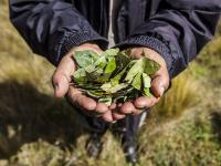 Liście koki ‒ tłumią głód, zmęczenie i dodają energii
