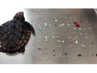 Młody żółw miał w żołądku ponad 100 kawałków plastiku