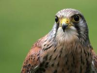 Pustułka - opis, występowanie i zdjęcia. Ptak pustułka ciekawostki
