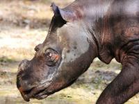 Odszedł ostatni nosorożec sumatrzański