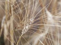 Pszenica kamut ‒ opis, właściwości i zastosowanie. Zboże pszenica kamut ciekawostki