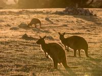 Umiera Wyspa Kangura ‒ dom wielu unikalnych zwierząt!