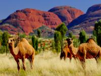Snajperzy zabiją około 10 tys. wielbłądów
