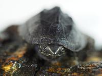 Żółw piżmowy - największy śmierdziel wśród gadów