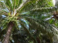 Olejowiec gwinejski – charakterystyka, uprawa, znaczenie ekologiczne