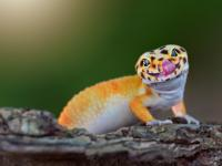 Gekon ‒ opis, występowanie i zdjęcia. Gad gekon ciekawostki